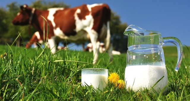 fungsi protein pada ternak sapi