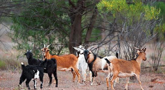 kambing ternak