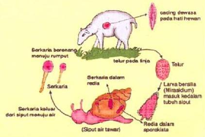 penyakit cacing pada kambing