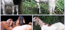 memilih bibit kambing