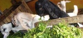 nutrisi untuk pakan kambing