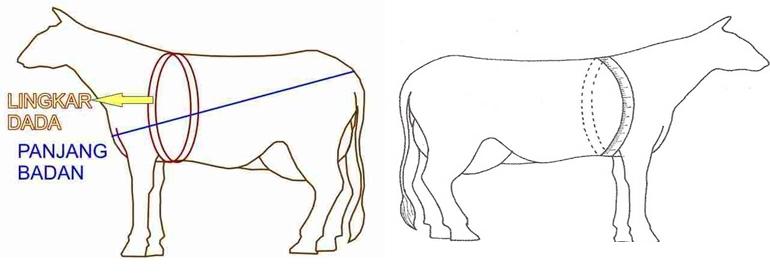 Cara-mengukur-bobot-badan-sapi