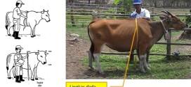 foto cara menghitung bobot badan sapi