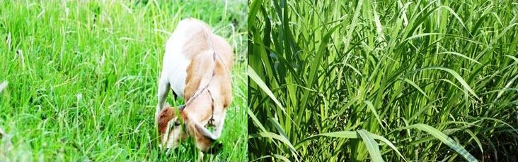 Memilihara-ternak-kambing-dan-menanam-rumput-pakan