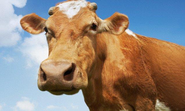 penyakit-ngorok-pada-ternak