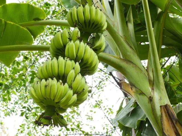pisang-untuk-pakan-ternak.jpg