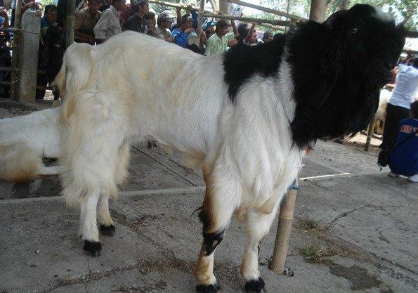 morfologi kambing peranakan etawa