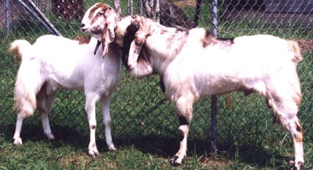 pengetahuan manajemen ternak kambing