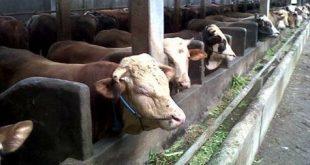 tips membeli pakan ternak sapi