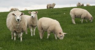 cara memberi pakan domba