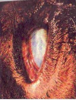 penyakit cacing mata pada ternak
