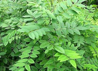 tanaman indigofera sebagai pakan ternak
