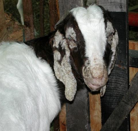 Cara mengobati penyakit kudis pada kambing