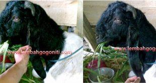 cara mengobati kambing keracunan dengan teknik cubit