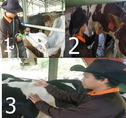 Cara memberi obat pada sapi