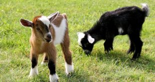 penyakit sembelit pada kambing