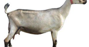 penyebab keguguran pada kambing