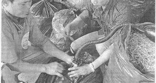 Cara fermentasi complete feed Untuk Sapi