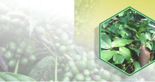 daun kopi sebagai pakan ternak
