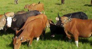 penyakit jembarana pada sapi bali