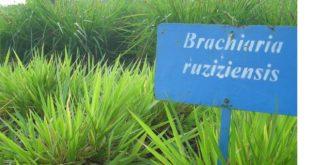 Rumput Ruzi Untuk Pakan Ternak