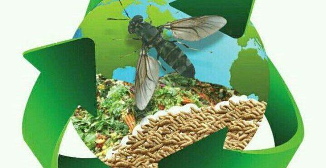 Maggot BSF Sebagai Pakan Ikan