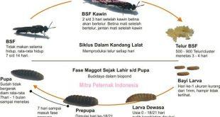 Siklus Hidup Black Soldier Fly (BSF)