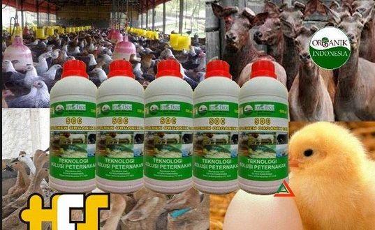 manfaat soc hcs untuk ternak