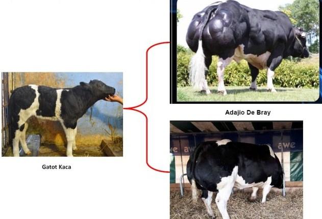 sejarah sapi belgian blue