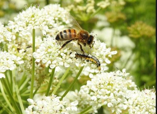 pakan lebah madu 3