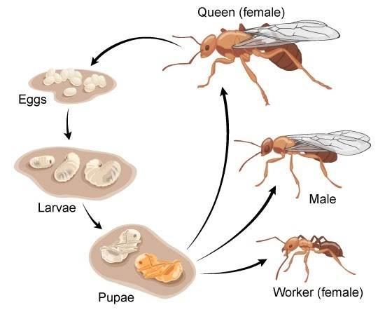 siklus hidup lebah madu