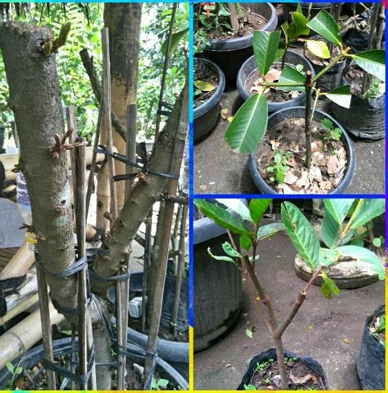 jual nature stek akar batang -1