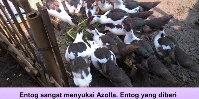 azolla sebagai pakan entog
