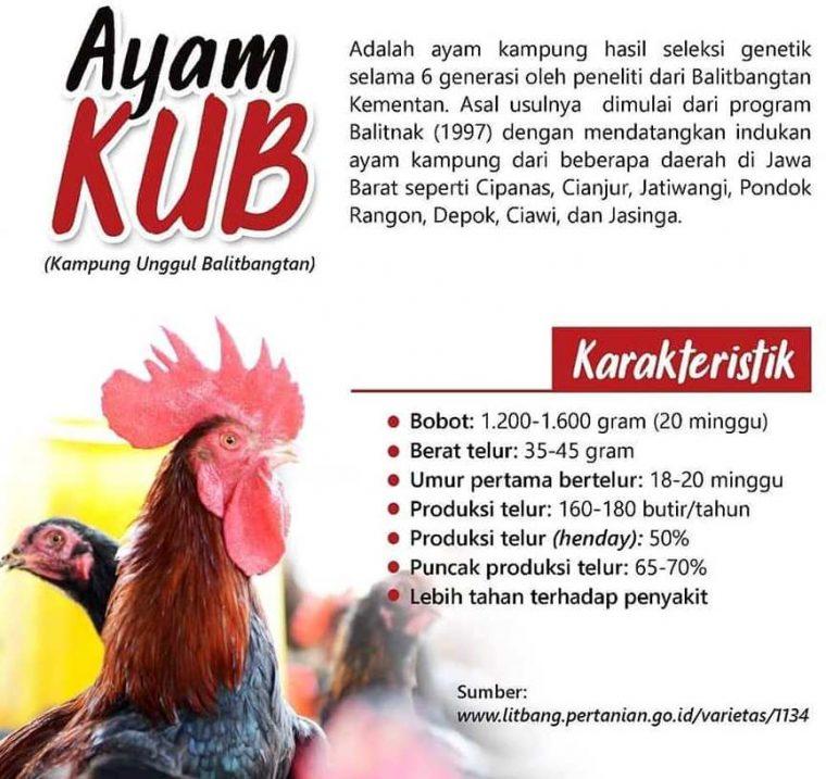Ayam Kampung Unggul Balitbangtan ( KUB ) 1