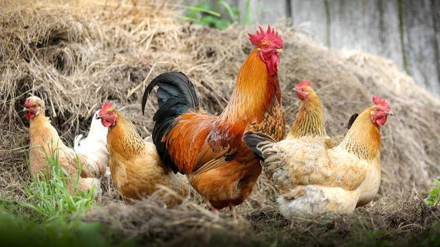 Cara Membuat Ayam Tua Bertelur Lagi