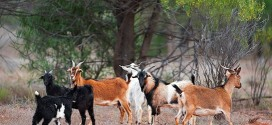 kambing-ternak