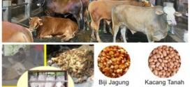 ransum sapi potong