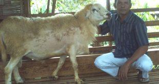 Domba Waringin