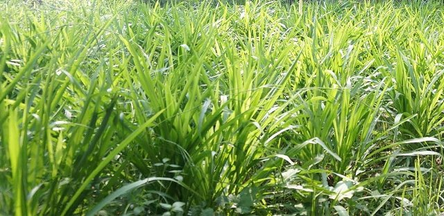 rumput odot sebagai pakan ternak
