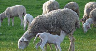 cara menentukan masa kawin domba