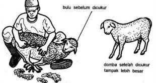 cara merawat domba