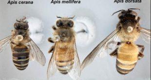 jenis lebah madu