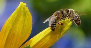 hama pada lebah madu