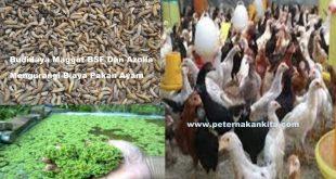 Maggot BSF Dan Azolla Untuk Hemat Pakan Ayam