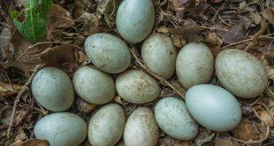 cara pengawetan telur bebek mentah